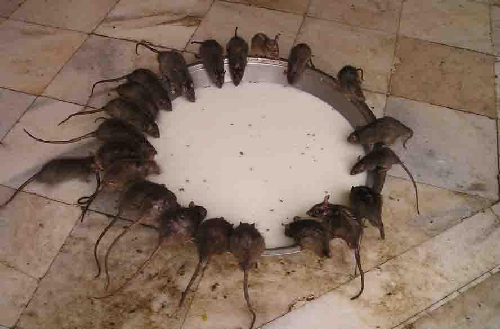 karni mata Rats images