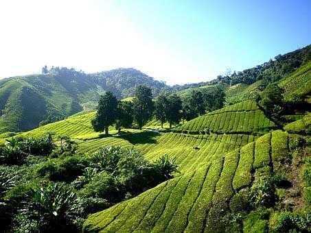 Happy-Valley-Tea-Estate-pic