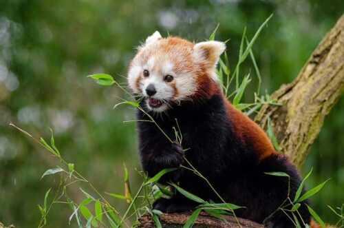 Red-Panda-pic