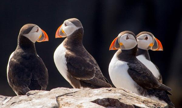 adventure-places-in-canada-Puffin-Watching-in-Newfoundland