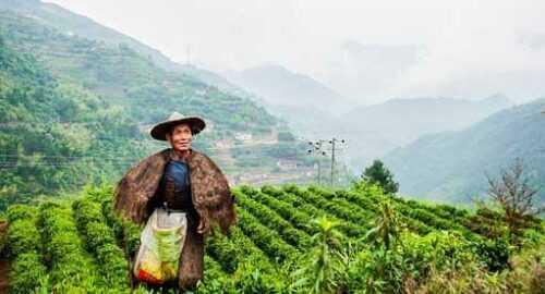 tea garden Darjeeling travel blog