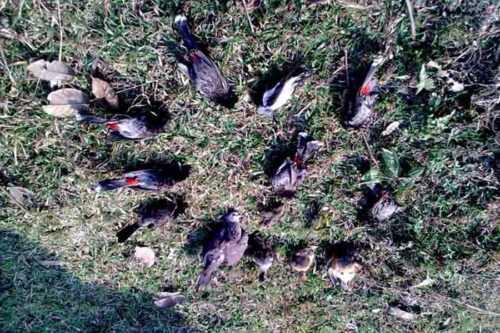 Jatinga Bird Suicide