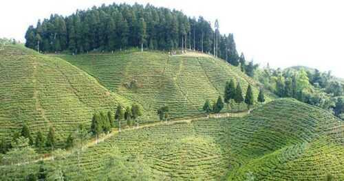 Cooch Behar Tea Estate, West Bengal