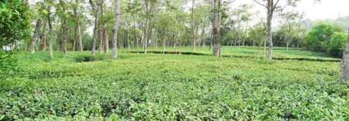 Darang Tea Estate, Himachal Pradesh