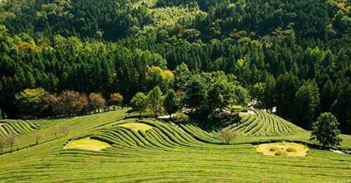 Famous Tea Garden in India