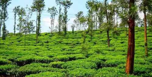 Kelagur Tea Estate, Karnataka