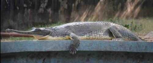 alligator in Jaipur