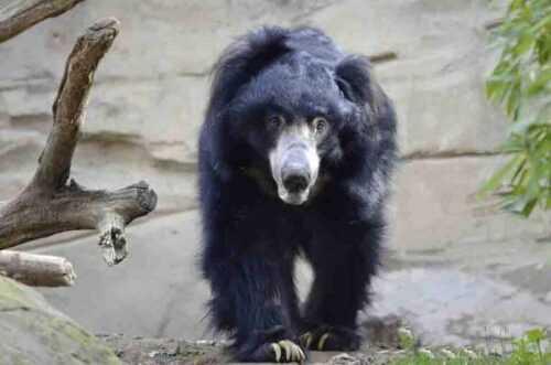 bear in jaipur  Zoo