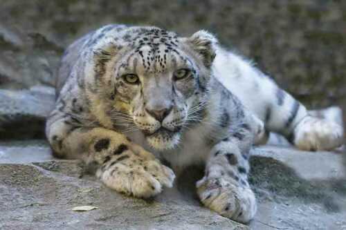 panther in jaipur zoo